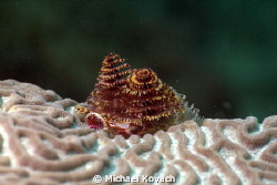 Christmas Tree Worm on Symmetrical Brain Coral on the  Bi... by Michael Kovach 
